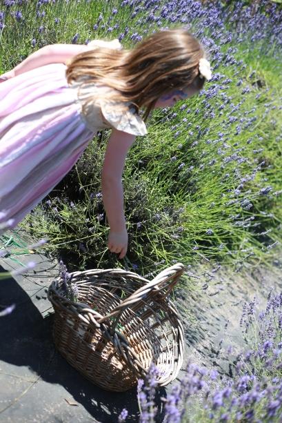 Cutting fresh lavender